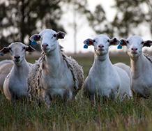 Home - Dorper Sheep Society Australia